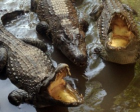 Na farmie krokodylej